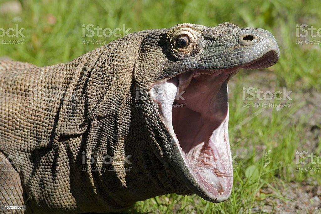 Komodo dragon with open mouth stock photo