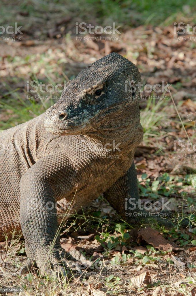 Komodo Dragon with scaly, wrinkled skin looks over shoulder, Komodo National Park, Indonesia stock photo