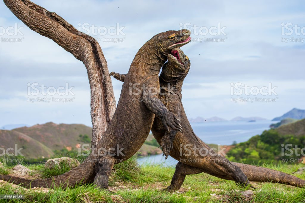 Komodo Dragons are fighting each other. stock photo