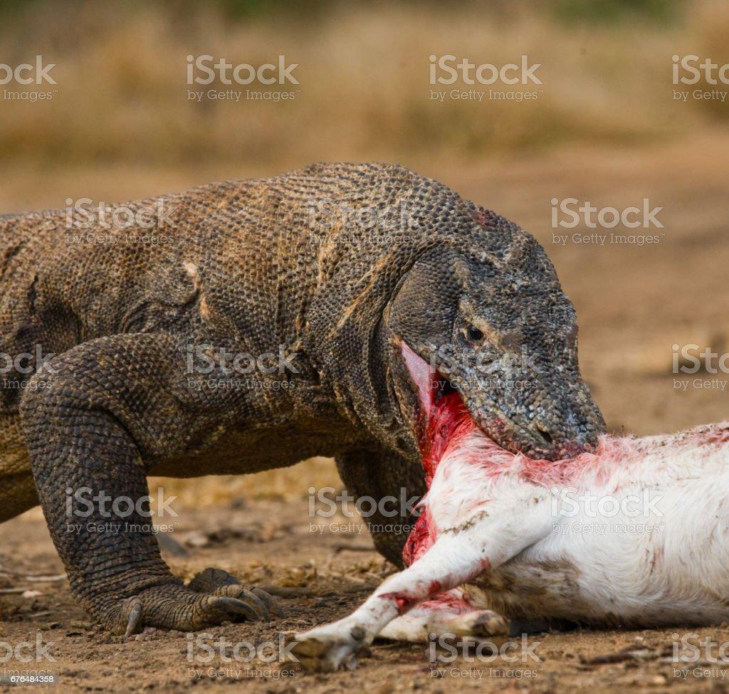Komodo Dragons Eat Their Prey Stock Photo & More Pictures of Animal ...