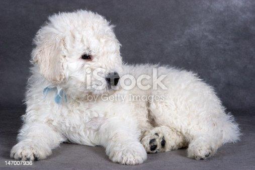 Komondor puppy on grey background