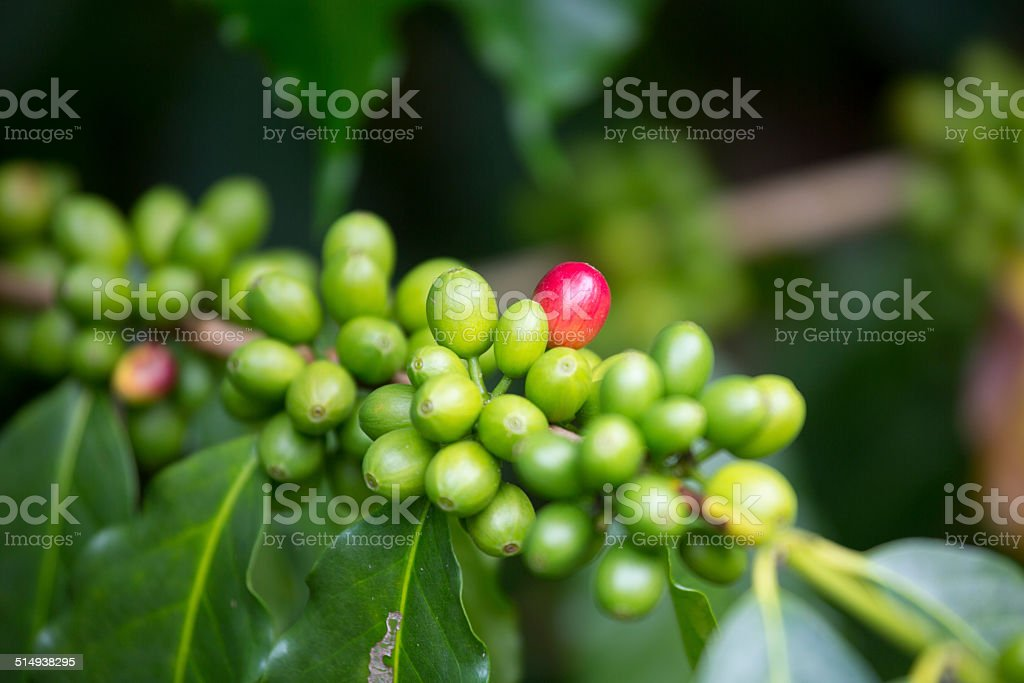 Kona coffee beans, green and red stock photo