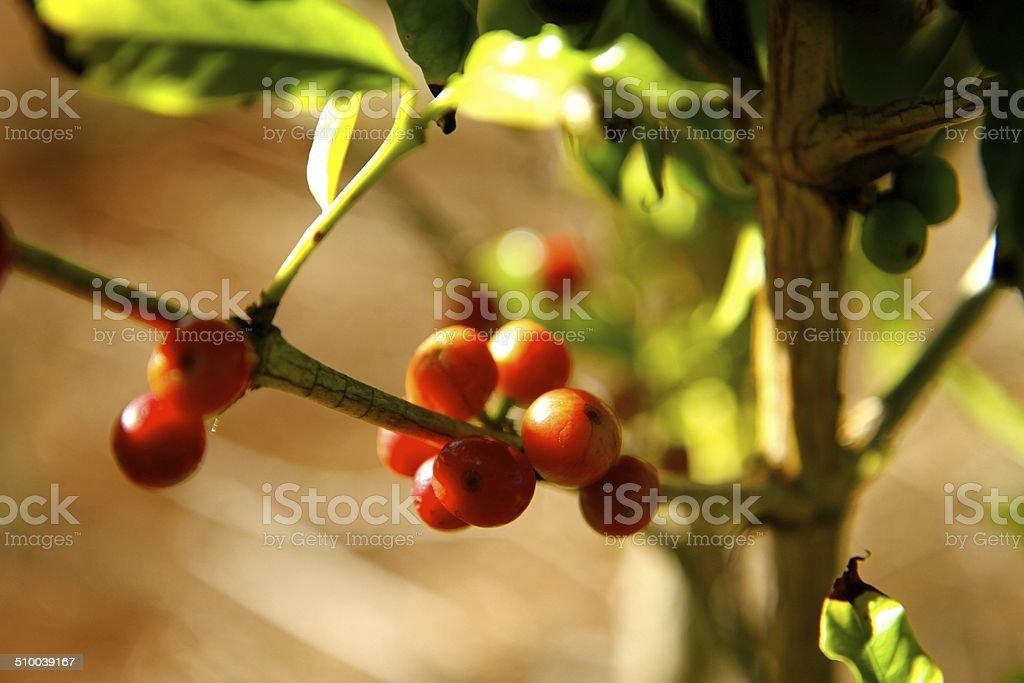 Kona Coffee Berries stock photo