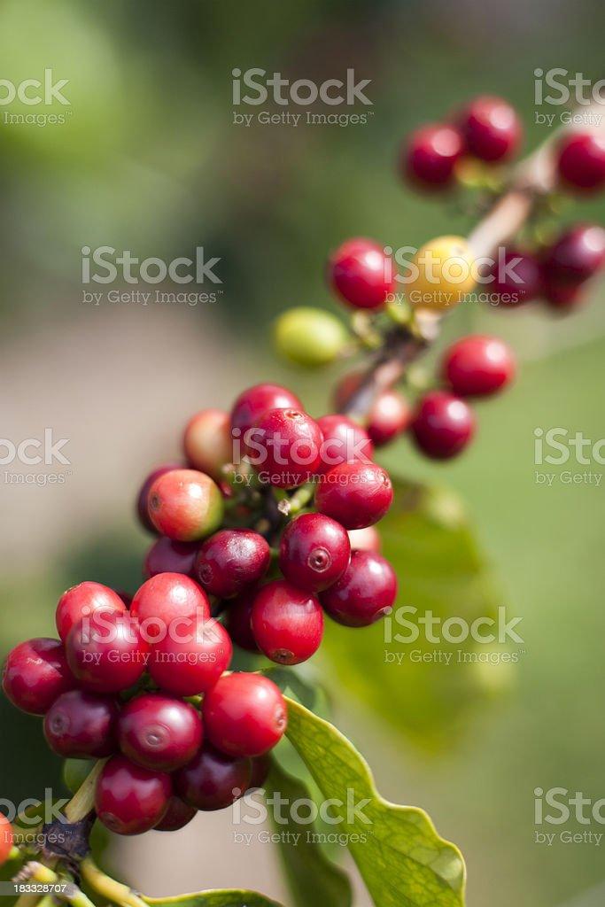 Kona Coffee Cherries stock photo