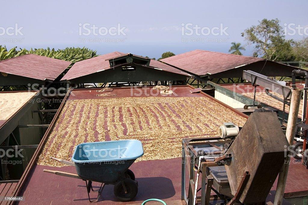 Kona coffee drying in the sun stock photo
