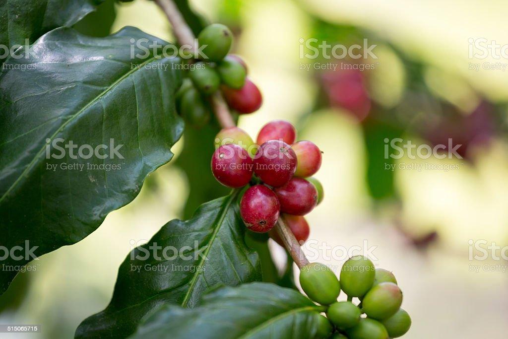 Kona Coffee Farm Hawaii The Big Island stock photo