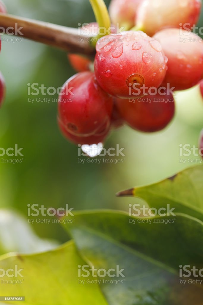 Kona Coffee Tree stock photo