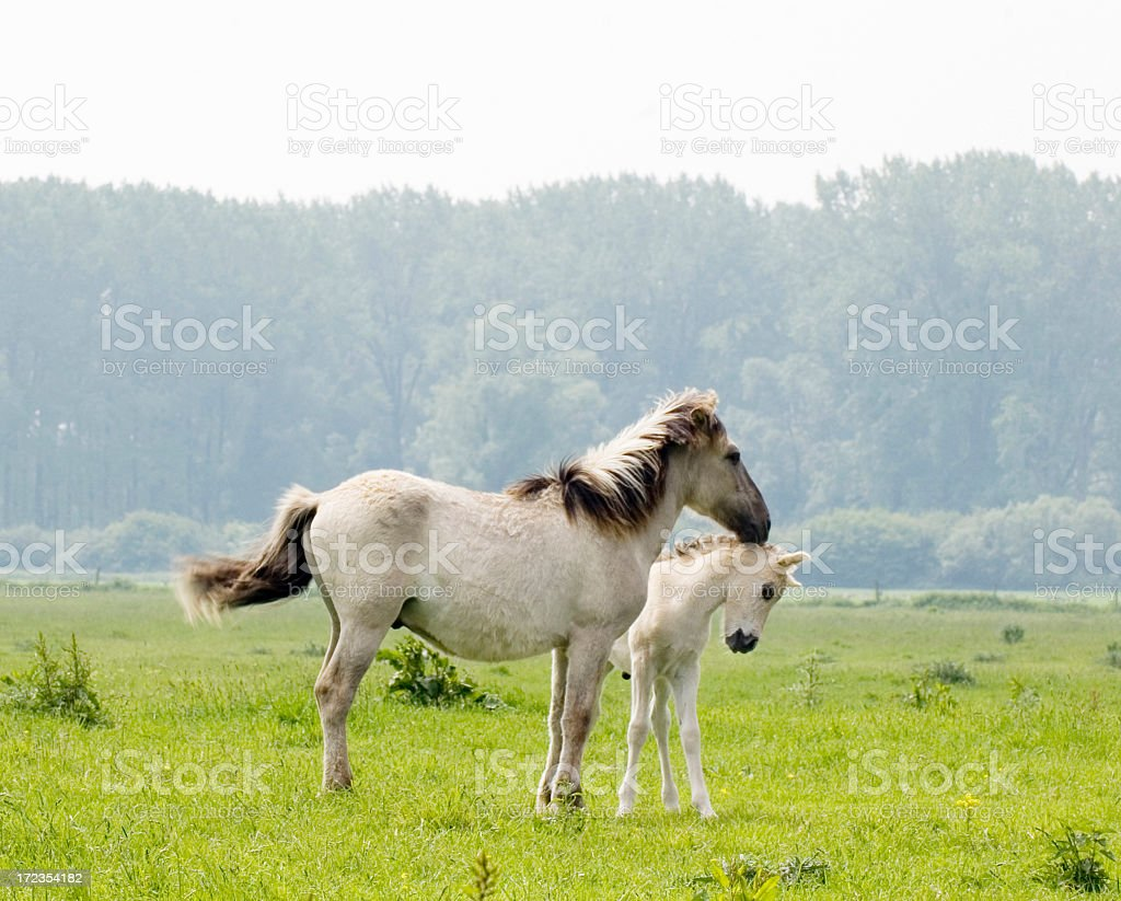 Konik Horses in the Millingerwaard (Netherlands) royalty-free stock photo