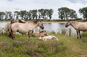 Konik horses with foals, standing near a lake. Photo was taken in the Ooy Polder near Nijmegen, The Netherlands