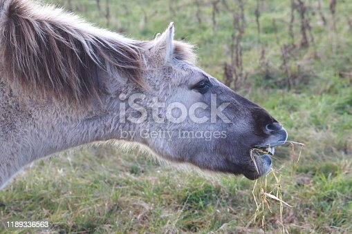 Close up of Konik pony neighing
