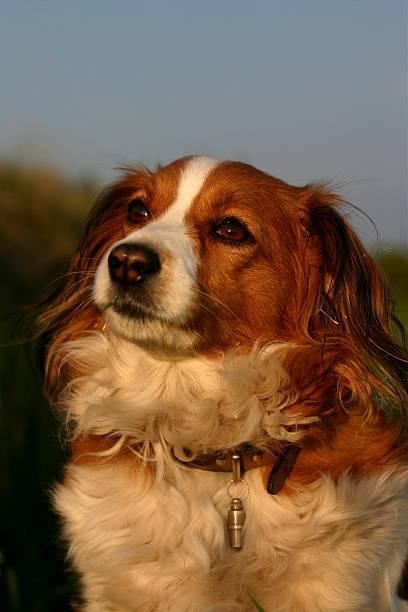 kooijker hund - kooikerhondje welpen stock-fotos und bilder