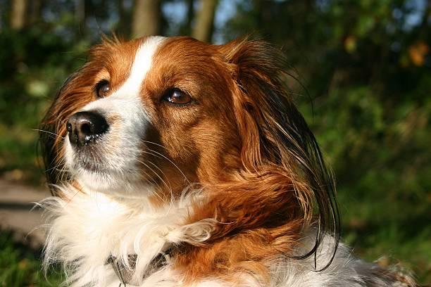 kooijker hund mit welpen-augen - kooikerhondje welpen stock-fotos und bilder