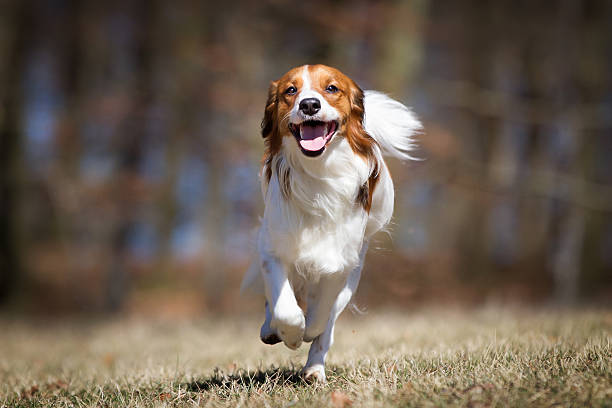 Kooikerhondje dog outdoors in nature A purebred Kooikerhondje dog without leash outdoors in the nature on a sunny day. approaching stock pictures, royalty-free photos & images