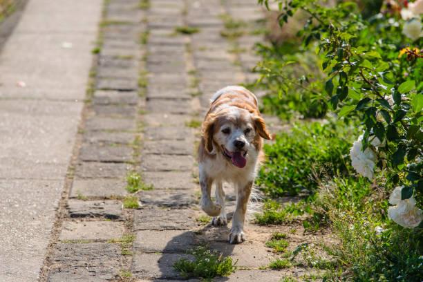kooikerhondje-hunde - kooikerhondje welpen stock-fotos und bilder