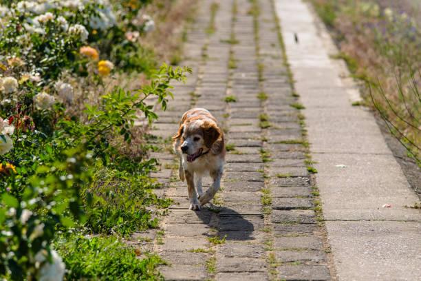 kooikerhondje hunde - kooikerhondje welpen stock-fotos und bilder