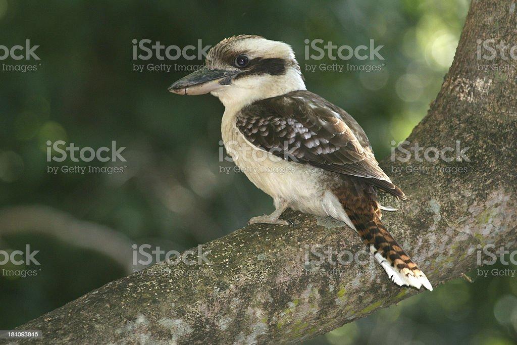 kookaburra australian bird royalty-free stock photo