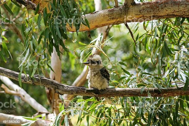 Photo of Kookaburra. Booderee National Park. NSW. Australia