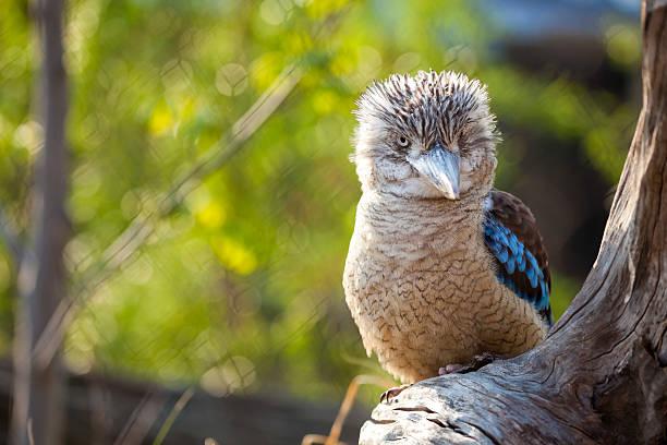 Kookaburra Dacelo novaeguineae Kingfisher with a funny look stock photo