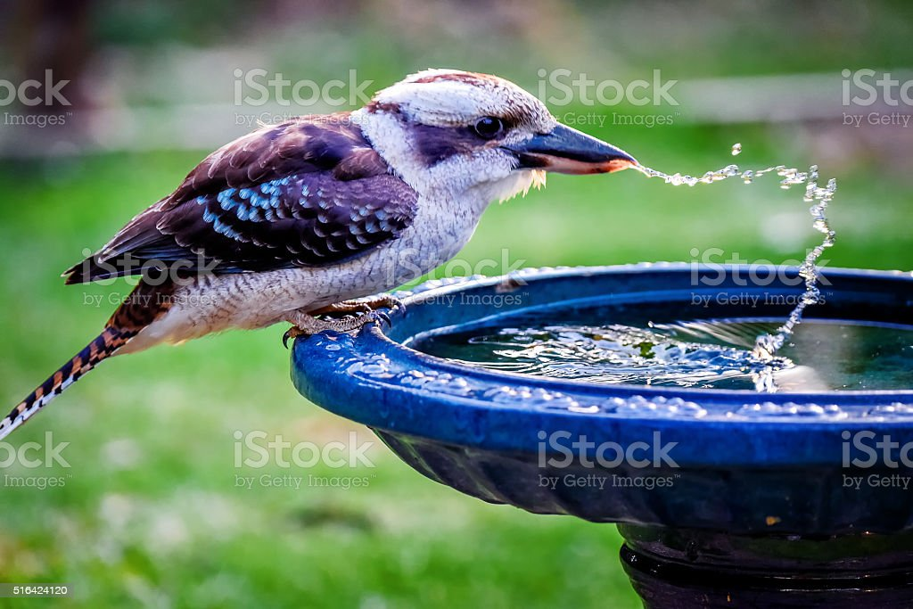 Kookaburra Drinking stock photo