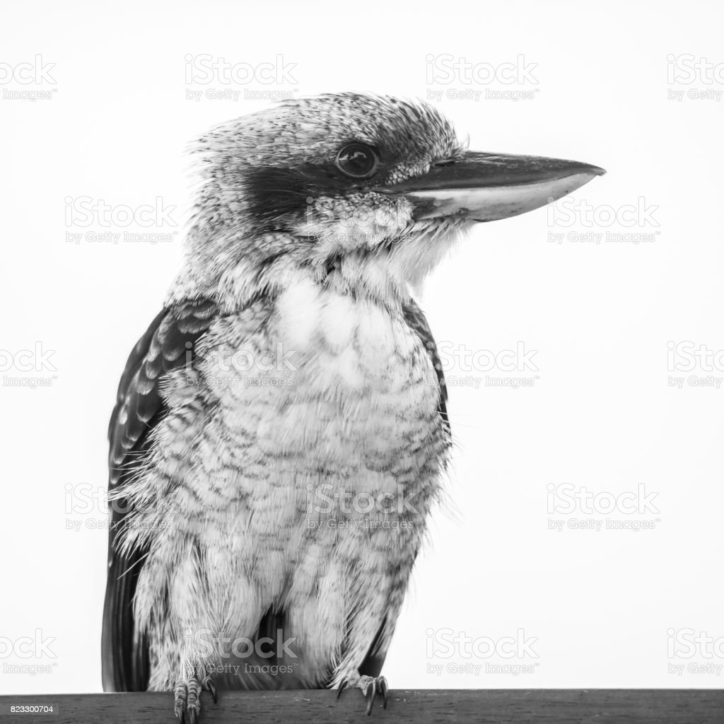Kookaburra gracefully resting during the day. stock photo