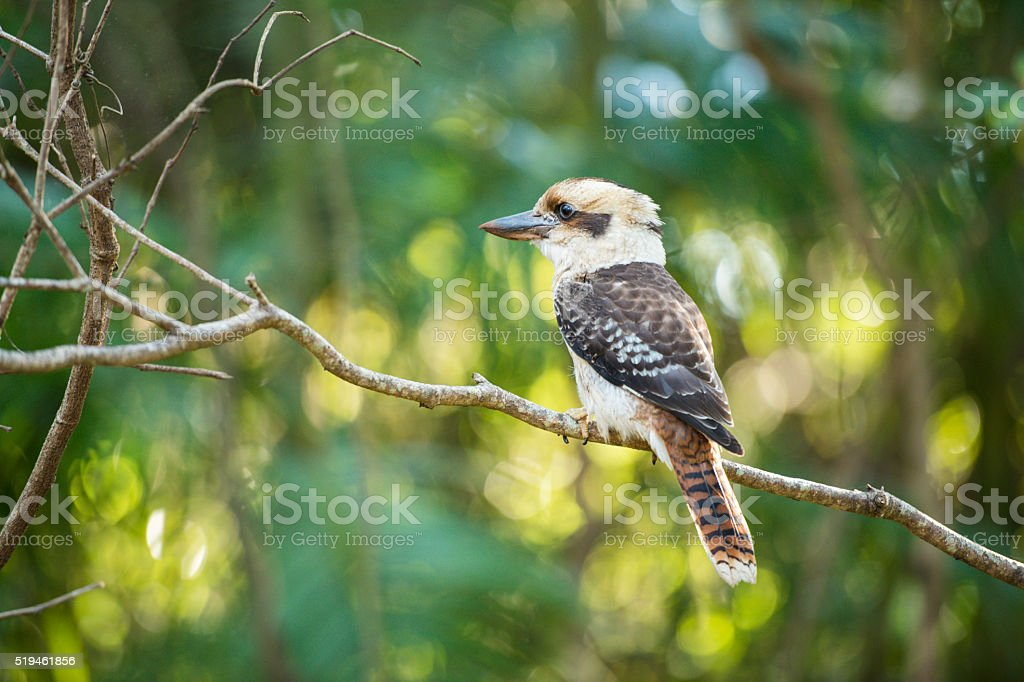 Kookaburra gracefully sitting in a tree stock photo