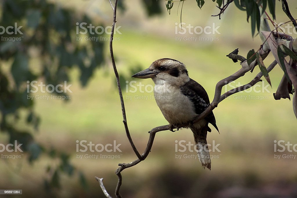 Kookaburra in a branch with blurred background royalty-free stock photo