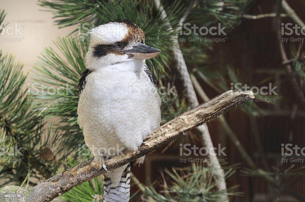 Kookaburra Kingfisher royalty-free stock photo