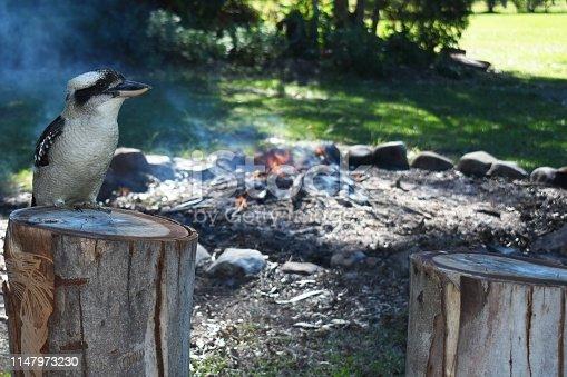 Kookaburra looking over a campfire closeup outdoors at a campsite