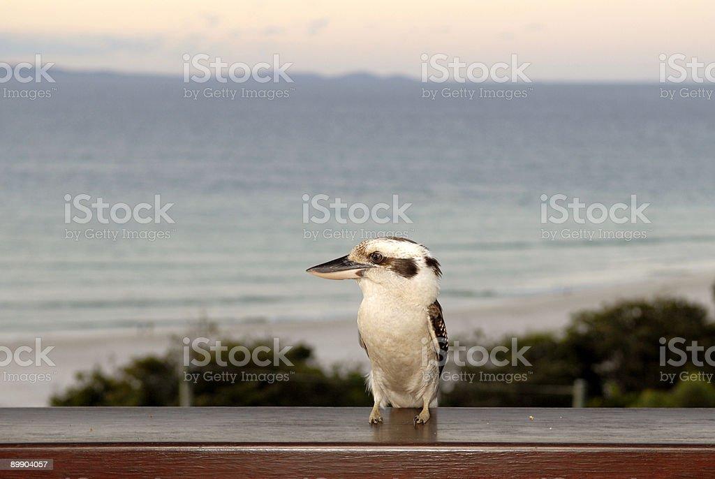 Kookaburra royalty-free stock photo