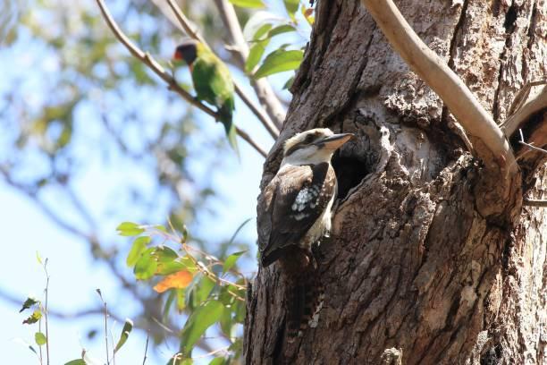 섬된 밖으로 나무에서 그것의 병아리를 먹이를 준비 하는 물총새 - 속이 빈 뉴스 사진 이미지