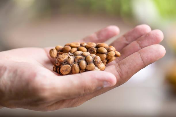 kopi luwak o civeta café, granos de café excretados por la civeta en mano - gato civeta fotografías e imágenes de stock