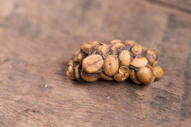 kopi luwak o civeta café, granos de café excretados por la civeta - gato civeta fotografías e imágenes de stock