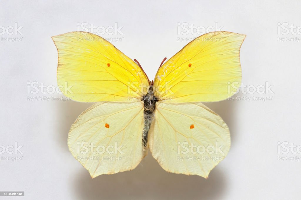 Butterfly specimen korea,Gonepteryx mahaguru stock photo