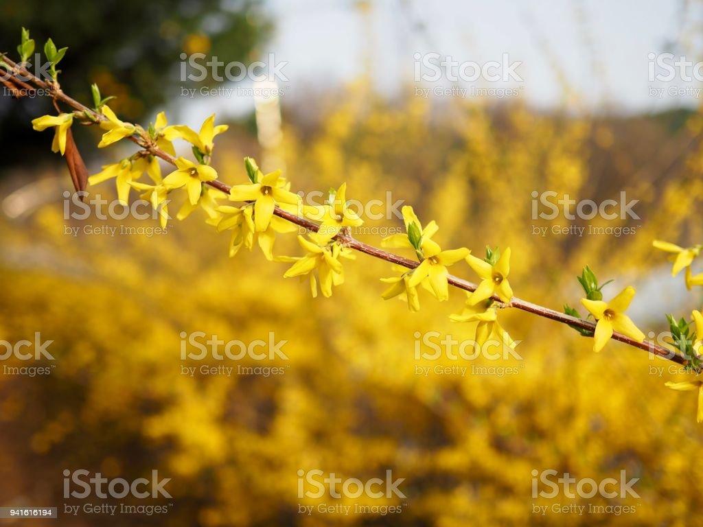 Korean Spring Flowers Forsythia Stock Photo More Pictures Of April