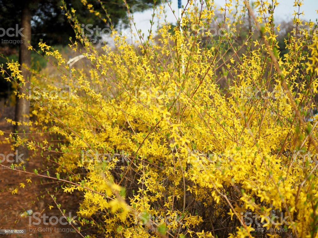 Korean Spring Flowers Forsythia Stock Photo More Pictures Of April