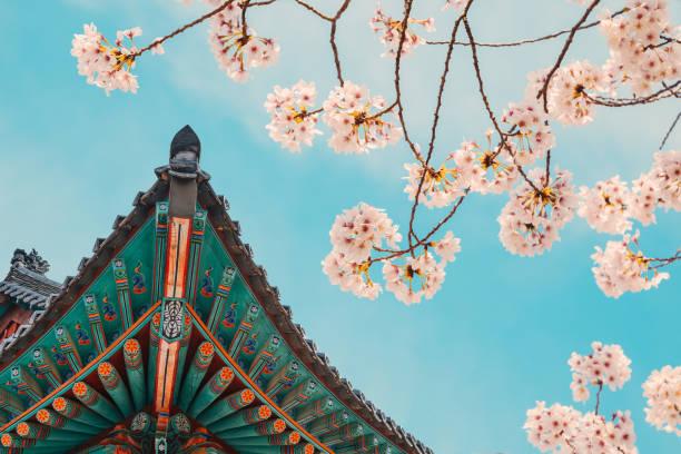 korean traditional wooden eaves with cherry blossoms in donghwasa temple, daegu, korea - cherry blossoms imagens e fotografias de stock