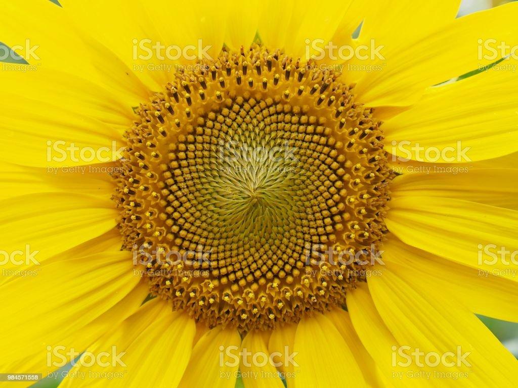Korea's sunflower flower landscape stock photo