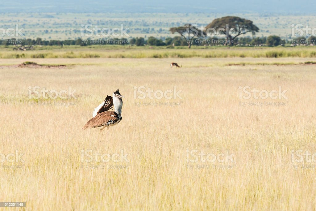 Kori Bustard and Gazelle stock photo