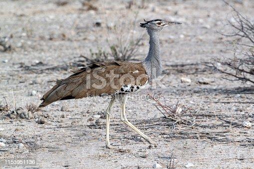 Kori Bustard (Ardeotis kori) in Etosha National Park, Namibia.