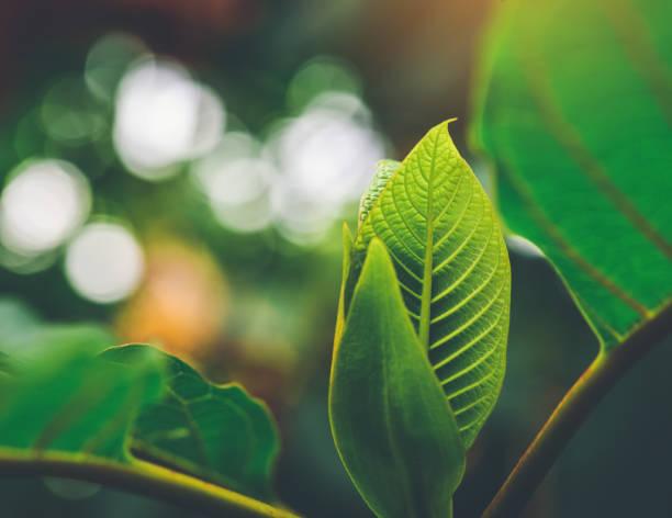Korth Hütte verlässt (Kratom Blumen) wachsen in der Natur machen süchtig und medizinische. – Foto