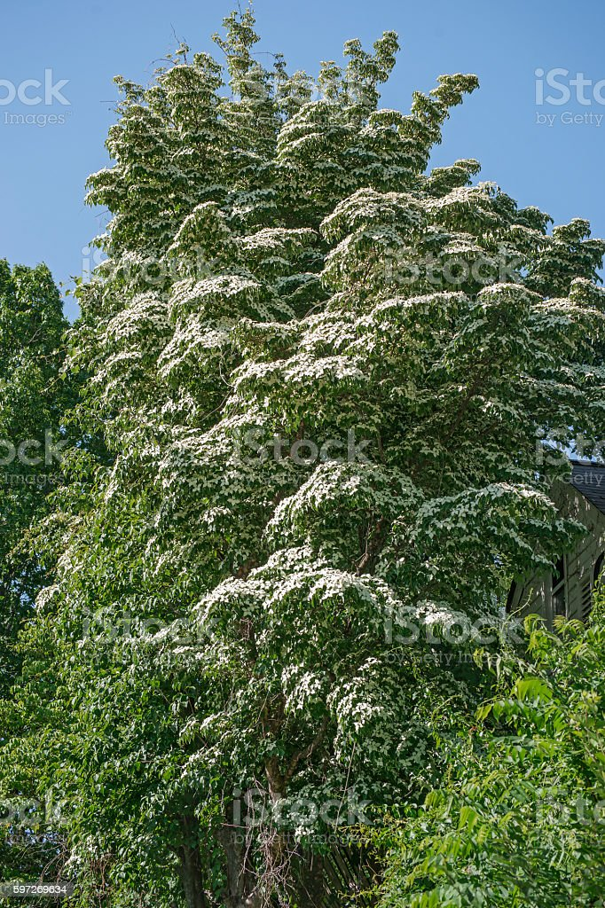 Kousa dogwood in blossom Lizenzfreies stock-foto