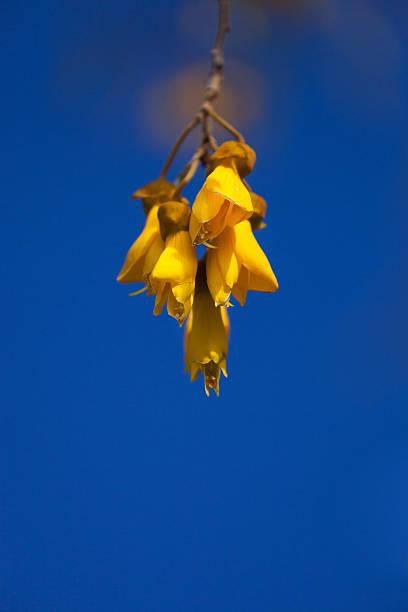 Kowhai Blumen im Frühling – Foto