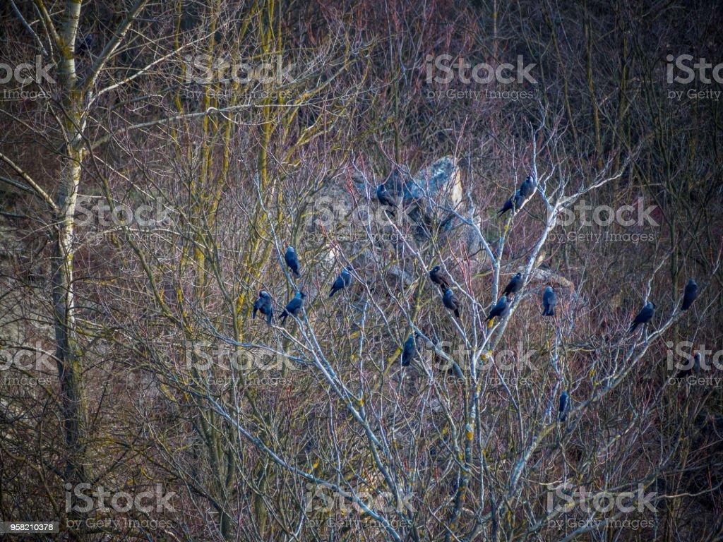 Krähen einer Im Gebüsch – Foto