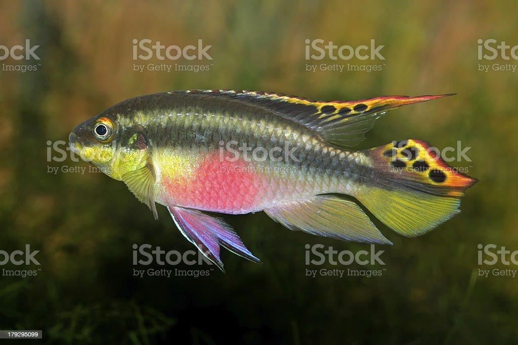 Kribensis (Purple Cichlid) stock photo