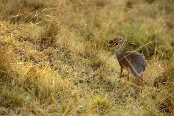 Krik dik dik antelope in Masai Mara grassland stock photo