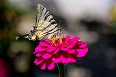 kırlangıç kuyruklu kelebek