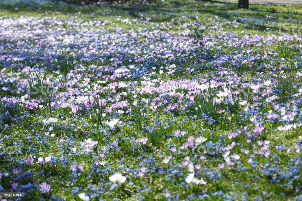 Krokusblüte, Blausternblüte, Blumenwiese stock photo
