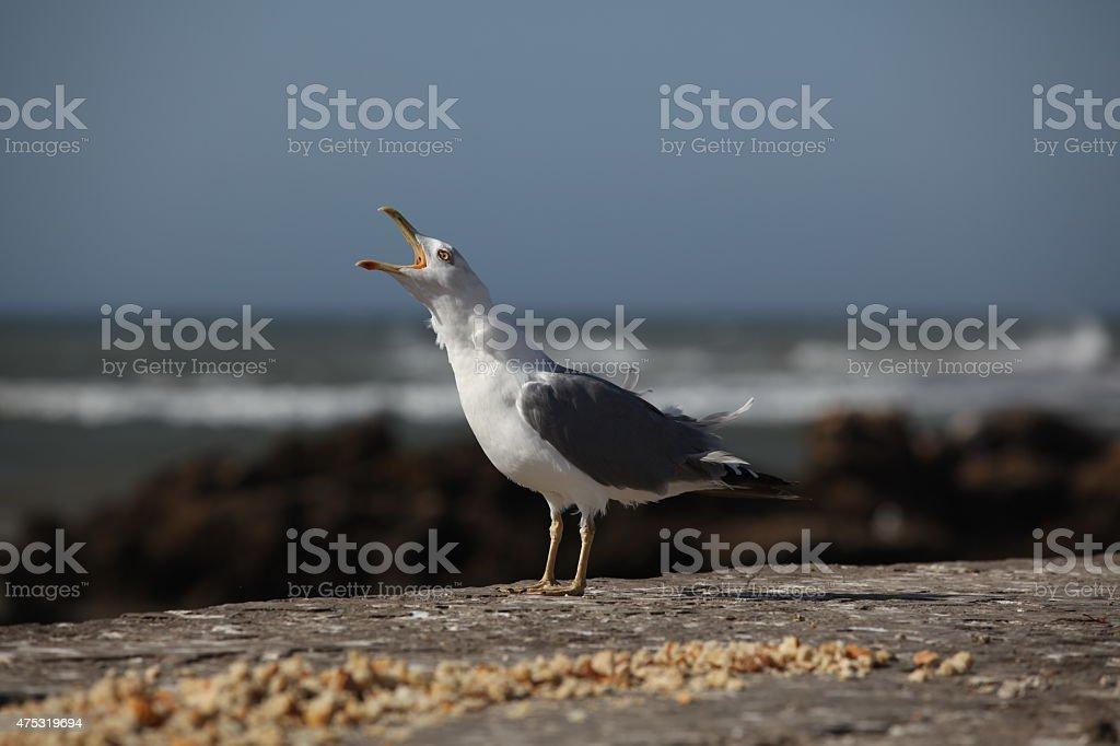 Krzycząca mewa srebrzysta stock photo