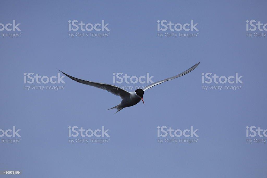 Küstenseeschwalben stock photo