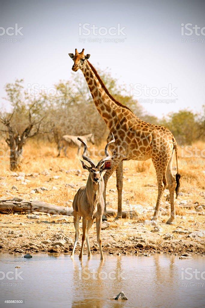 Kudu and Giraffe at Waterhole in Etosha National Park stock photo